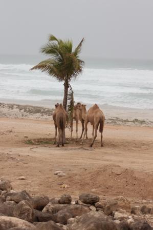 Salalah Camels and Coos