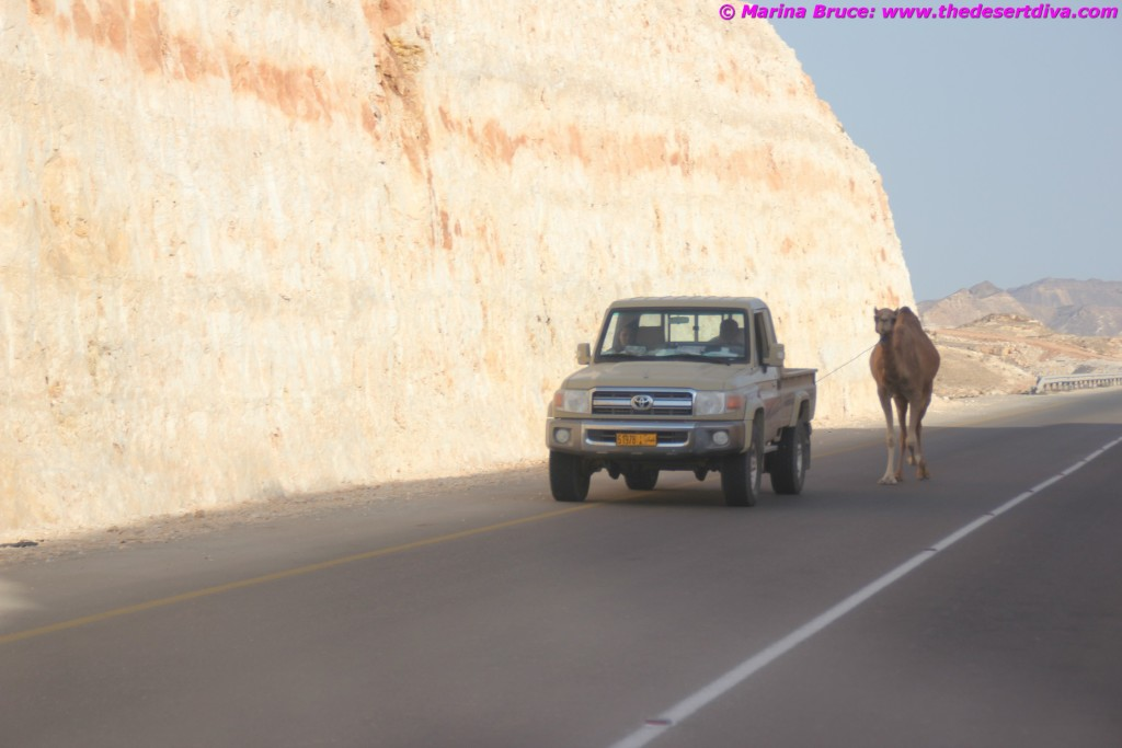 camel walk01